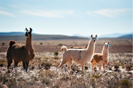 party with the llamas